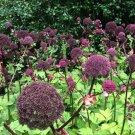 Hardy Korean Purple Angelica Angelica gigas - 10 Seeds