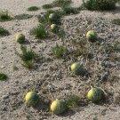 Native Wild Crafting Coyote Gourd American Indian Cucurbita Palmata - 15 Seeds