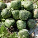Heirloom Large Crafting Apple Gourd Lagenaria siceraria - 8 Seeds