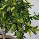 Mexican Key Lime Citrus aurantifolia - 8 Seeds