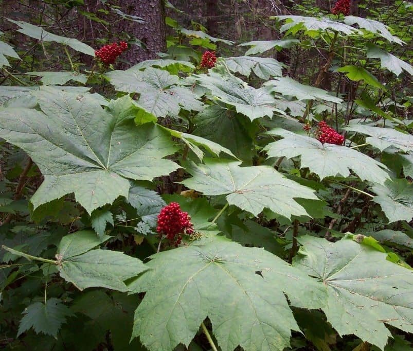 Cold Hardy Devil�s Club Plant Oplopanax horridus - 15 Seeds