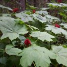 Cold Hardy Devil's Club Plant Oplopanax horridus - 15 Seeds