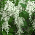 Wild Fragrant Creambush Holodiscus discolor - 200 Seeds