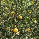 Flying Dragon Trifoliate Orange Cold Hardy Citrus Corkscrew Poncirus trifoliata - 5 Seeds
