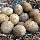 Crafting Nest Egg Gourd Cucurbita pepo - 10 Seeds