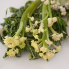 New! Japanese Karifurore Sweet Sprouting Stick Cauliflower Brassica oleracea botrytis - 20 Seeds