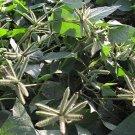 Organic Heirloom Urad Black Gram Phaseolus Vigna mungo - 100 Seeds