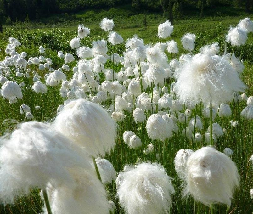 Seuss Inspired Hardy Cotton Grass Eriophorum angustifolium - 25 Seeds
