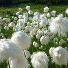 Seuss Inspired Hardy Cotton Grass Eriophorum angustifolium - 25 Seeds