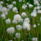 Hardy Cotton Grass Eriophorum angustifolium - 25 Seeds