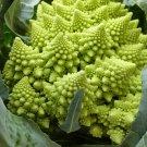 Seuss Inspired Chartreuse Heirloom Romanesco Broccoli Brassica oleracea - 40 Seeds