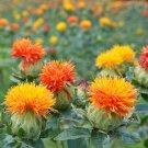 Organic Orange Safflower Carthamus Tinctorius - 150 Seeds