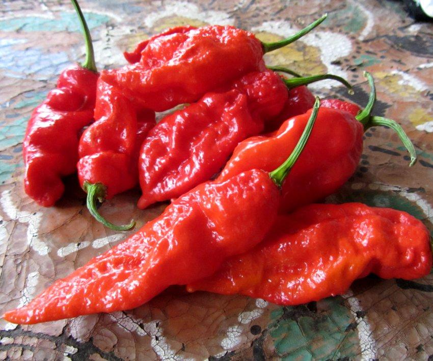HOT! Ghost Chili Red Bhut Jolokia Capsicum chinense - 10 Seeds