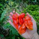 HOT! Ghost Pepper Red Bhut Jolokia Capsicum chinense - 20 Seeds