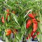 Argentina Aconcagua Sweet Pepper Giant Capsicum annuum - 30 Seeds
