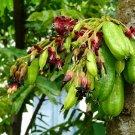 Kamias Tree Cucumber Averrhoa bilimbi - 8 Seeds