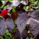 Dwarf Ornamental Black Cotton Gossypium heraceum nigra - 5 Seeds