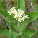 Rare Dwarf Milkweed Asclepias ovalifolia - 10 Seeds