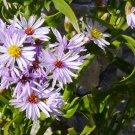 Aquatic Wild Sea Aster Rare Tripolium pannonicum - 20 Seeds