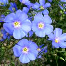 Heirloom Blue Flax Flower Linum usitatissimum - 500 Seeds