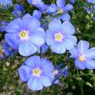Heirloom Blue Flax Flower Linum usitatissimum - 500 Seeds