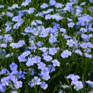Organic Heirloom Edible Flax Linseed Linum usitatissimum - 500 Seeds