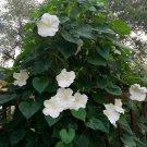 Giant White Moonflower Vine Ipomoea bona-nox - 15 Seeds