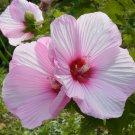 Pink Hibiscus Flower Hardy Hibiscus Moscheutos - 20 Seeds