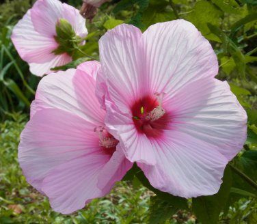 Pink Hibiscus Flower Hardy Hibiscus Moscheutos 20 Seeds