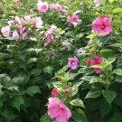 Pink Hibiscus Swamp Rose Hardy Hibiscus Moscheutos - 20 Seeds