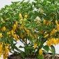 HOT! Peruvian Aji Limon Lemon Drop Capsicum baccatum - 15 Seeds