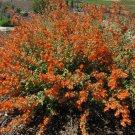 Apricot Desert Mallow Sphaeralcea ambigua - 20 Seeds