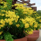 Esperanza Yellow Bells Trumpet Flower Tecoma Stans - 20 Seeds
