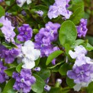 Purple Yesterday Today and Tomorrow Brunfelsia pauciflora - 5 Seeds