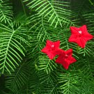 Dainty Fern Leaf Red Cypress Vine Ipomoea pennata -10 Seeds