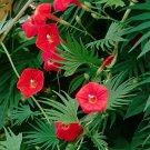 Palm Leaf Red Cardinal Climber Ipomoea quamoclit cardinalis- 15 Seeds