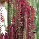 African Milk Tree Red Succulent Euphorbia trigona rubra - 1 Live Plant