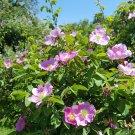 Wild Pink Marsh Rose Pink Rosa palustris -  40 Seeds