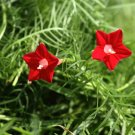 Delicate Fern Leaf Red Cypress Vine Ipomoea pennata -10 Seeds