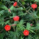 Showy Palm Leaf Red Cardinal Climber Ipomoea quamoclit cardinalis- 15 Seeds
