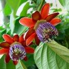 Winged-Stem Passionflower Granadilla Passiflora alata - 5 Seeds
