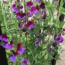 Purple and Maroon Bi-Color Sweet Pea Vine Lathyrus odoratus 'Matucana' - 20 Seeds