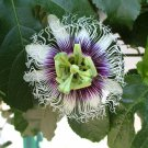 Purple Granadilla Passion Flower Passiflora Edulis - 10 Seeds