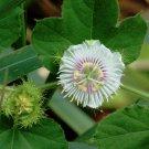 Wild Maracuja White Passion Flower Passiflora foetida - 8 Seeds