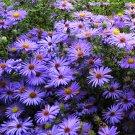 New England Aster Symphyotrichum novae-angliae - 50 Seeds