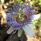 Purple Sea Anemone Passion Flower Rare Passiflora Actinia - 10 Seeds