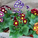 Harlequin Theater Primrose Mix Primula Auricula - 30 Seeds