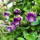 Purple Cathedral Bells Cobaea scandens - 8 Seeds