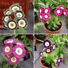 Colorful Theater Primerose Mix Primula Auricula - 30 Seeds