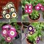 Colorful Theater Primerose Mix Primula Auricula - 30 Seeds